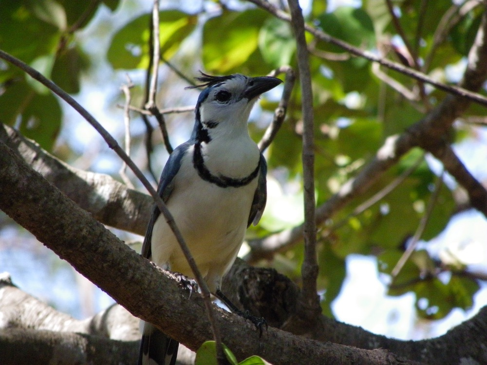 White-throated Magpie Jay – Cyanolyca cucullata