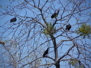 Black vultures in a tree