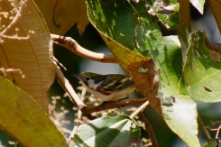 Chesnut-sided Warbler_DSC03002