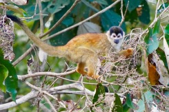 Red-backed Squirrel Monkey_DSC02927