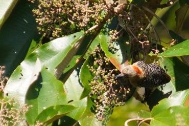 Red-crowned Woodpecker_DSC02828