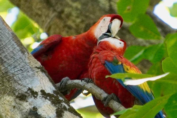 Scarlet macaws kissing_DSC03381