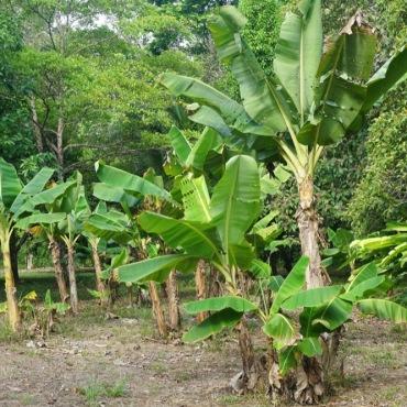 Banana tress