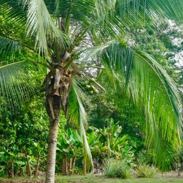 Cononut palm