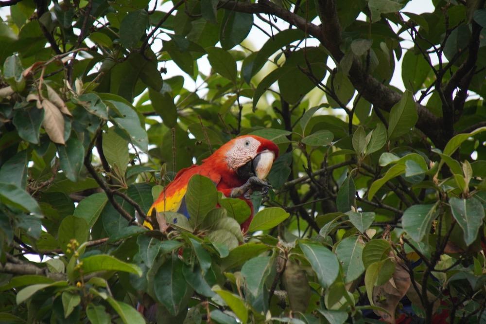 Scarlet macaw portraits_DSC04003