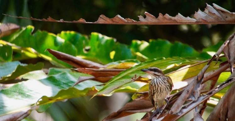 streaked-flycatcher_dsc03646