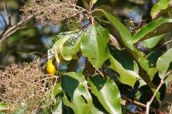 yellow-warbler_dsc03576