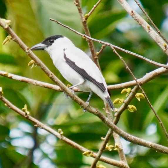 Black-crowned Tityra (male)