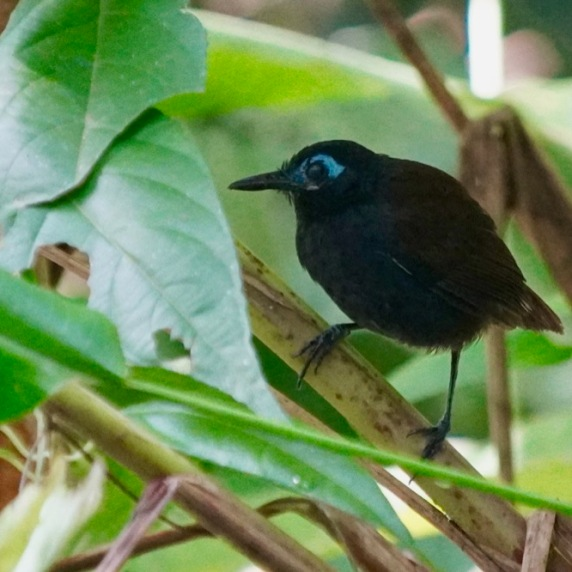 Chesnut-backed Antbird