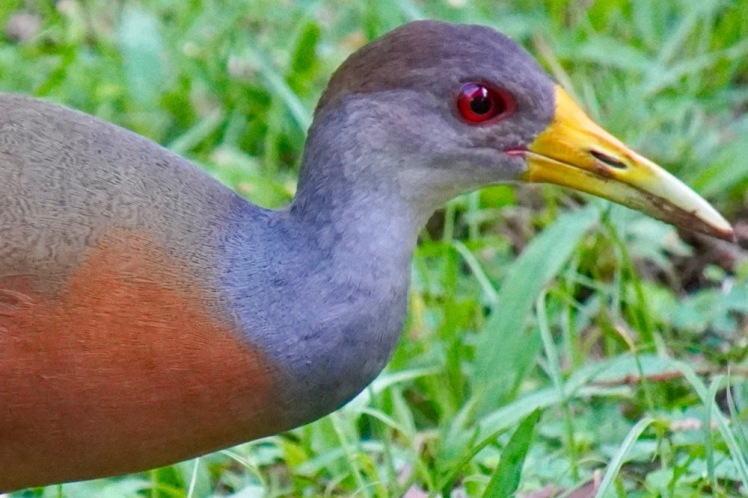 Gray-necked Woodrail