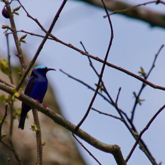 Red-legged Honeycreeper (breeding male)