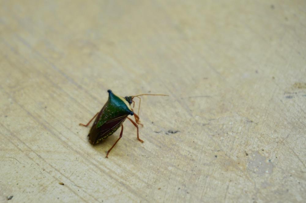 Broad shouldered beetle_DSC03513