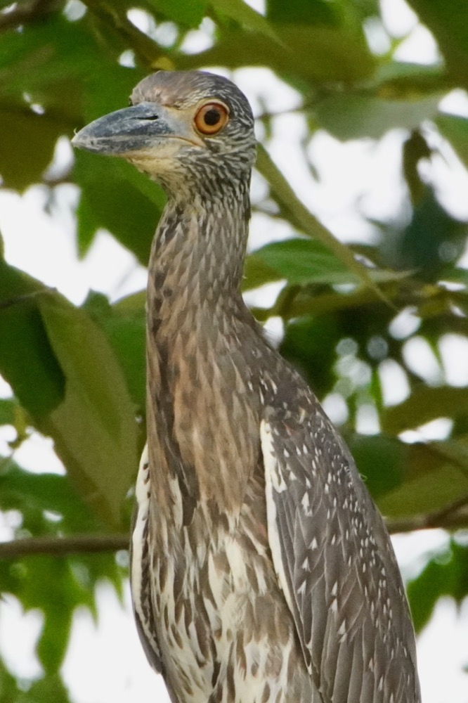 Yello-crowned night Heron (juvenile)