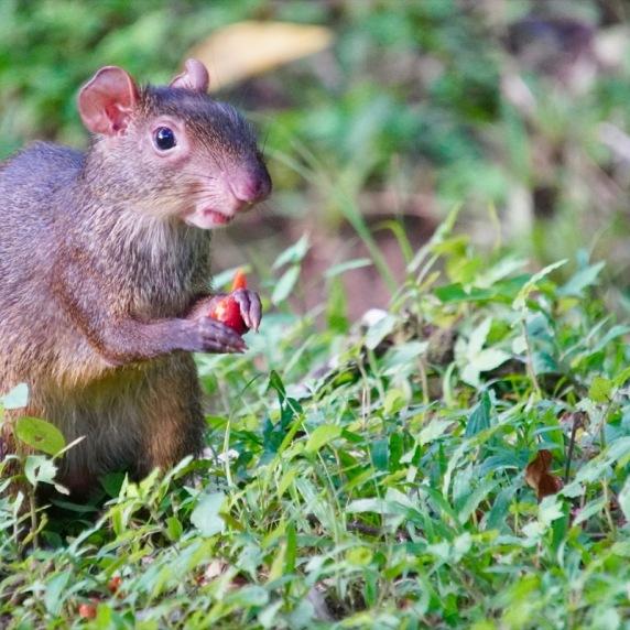 Agouti eating berries