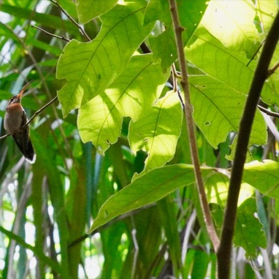 Band-tailed Barbthroat (singing hummingbird)DSC06376