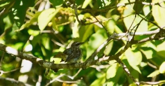 Black-striped Sparrow (juvenile)