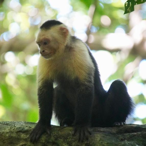 A pensive Capuchin monkey