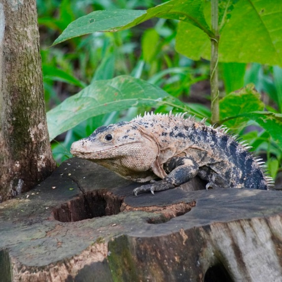 The iguana disappearing act. Part 1