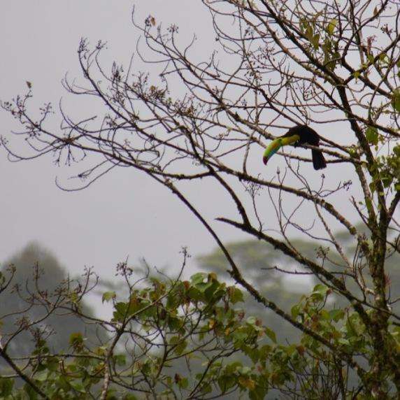 Keel-Toucan