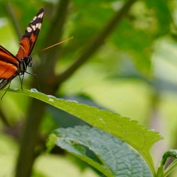 Long-winged butterfly