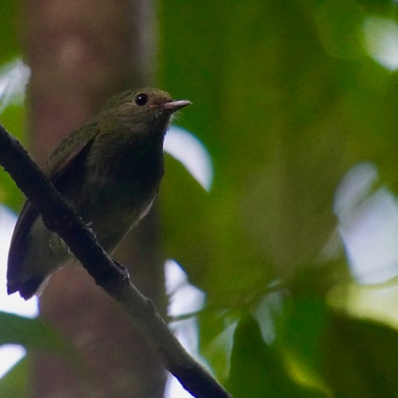 Red-capped Manakin Female