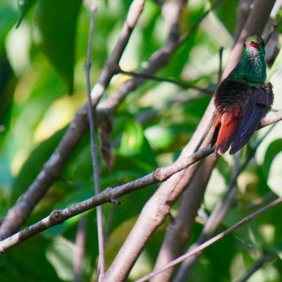 Rufous tailed humminbird