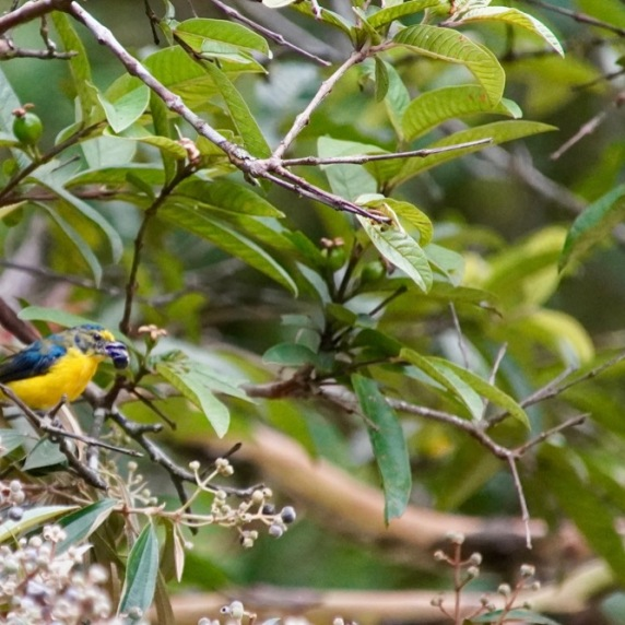 Yellow-Throated Euphonia (juvenile)