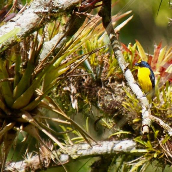Yellow-thorated Euphonia
